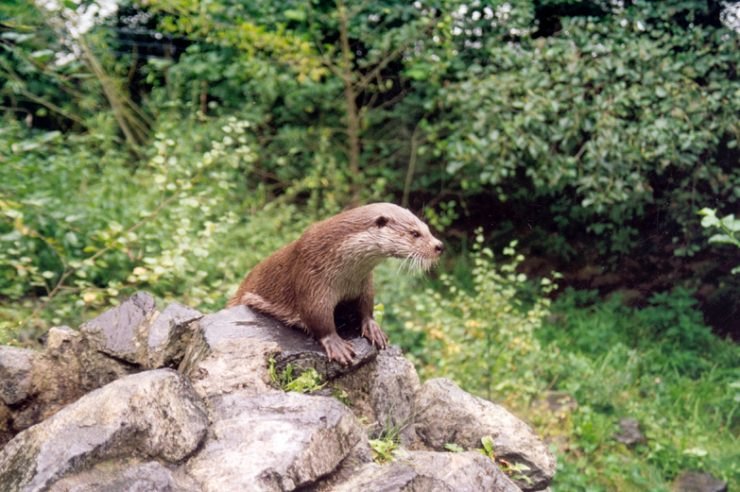 Image for Otters make a comeback across England