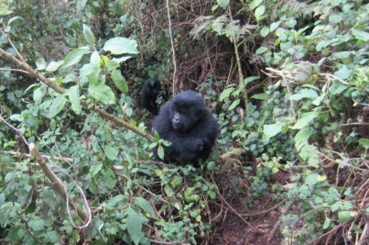 Image for Young gorillas destroy poachers' traps