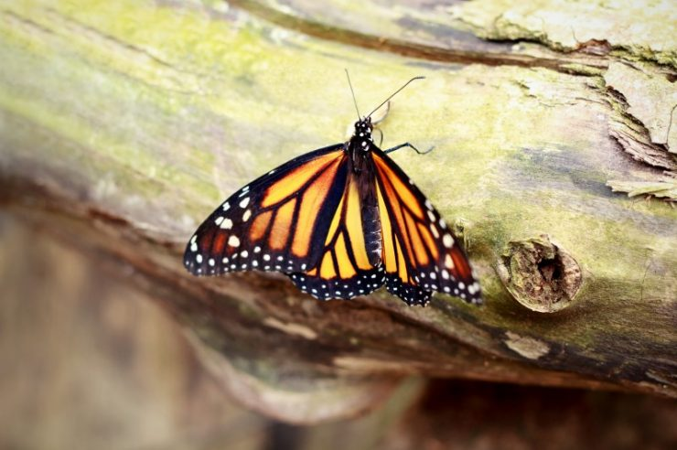 Image for Hope for monarch butterfly after Mexican logging halted