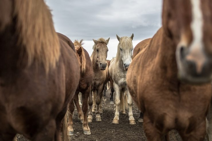 Image for Through my lens: Icelandic horses