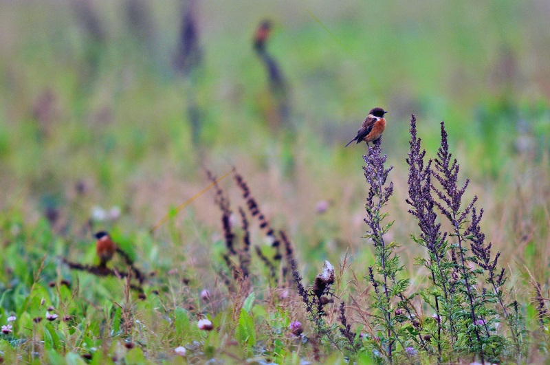 A stonechat on flowers at Village Farm in Devon. Photo by Village Farm