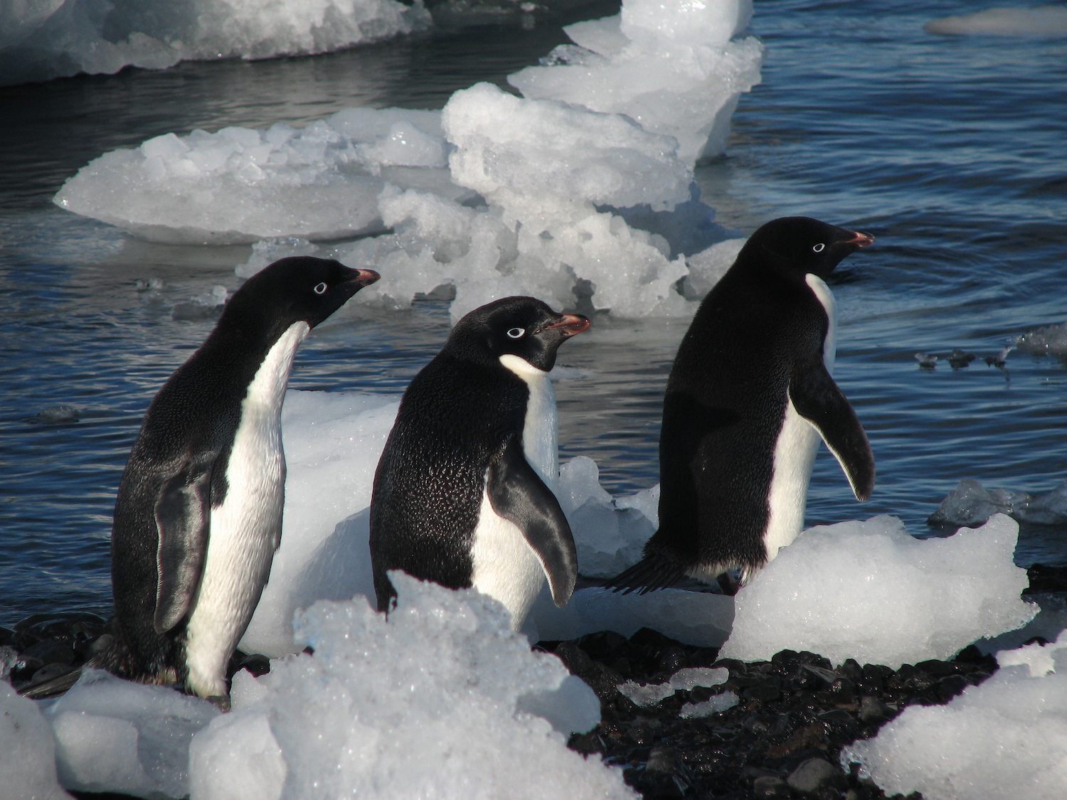 A small huddle of Adélie penguins, Antarctica. Image: Lin Padgham