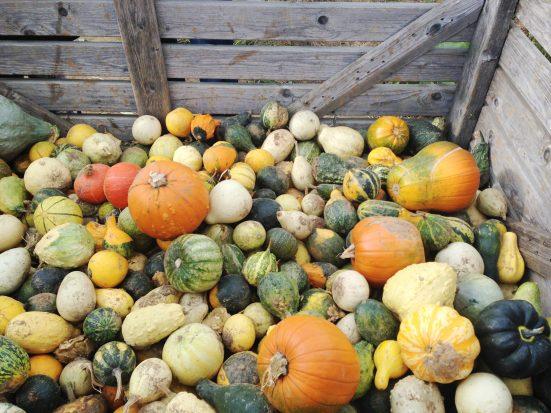 hubbub_pumpkin-rescue_pile-of-pumpkins-2