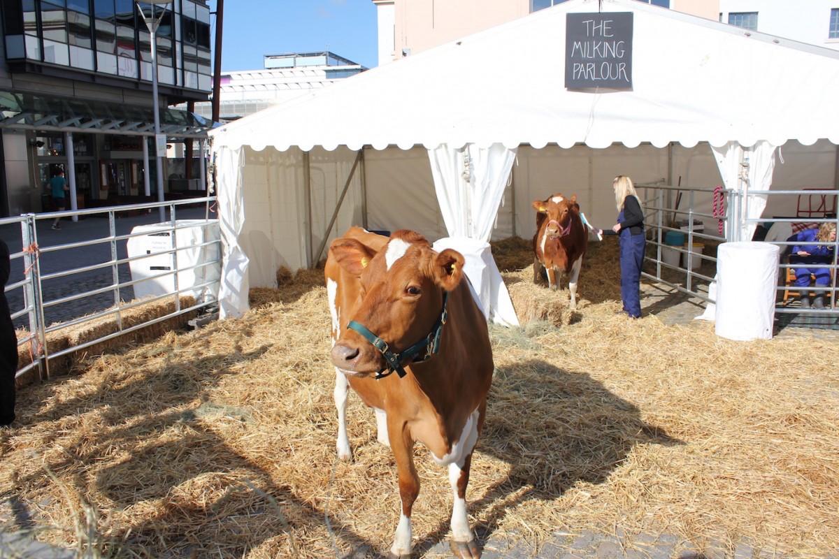 cows - Cape_Farewell