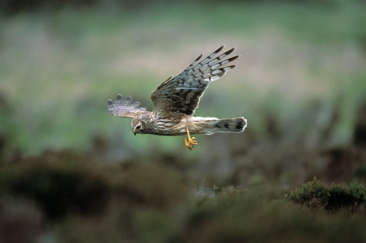 Image for The teen conservationist with a plan to save hen harriers from persecution