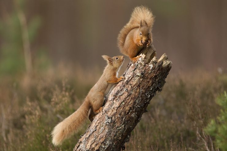 Image for Seeing red: success for native squirrel relocation plan