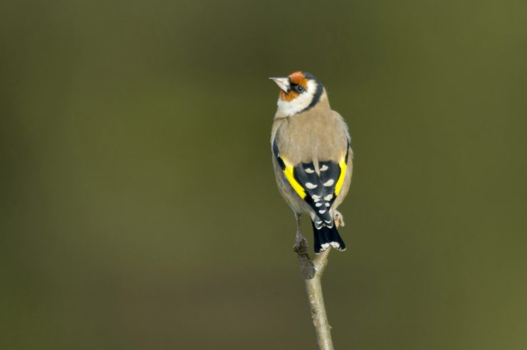 Image for A golden year for the goldfinch revealed in annual UK bird count
