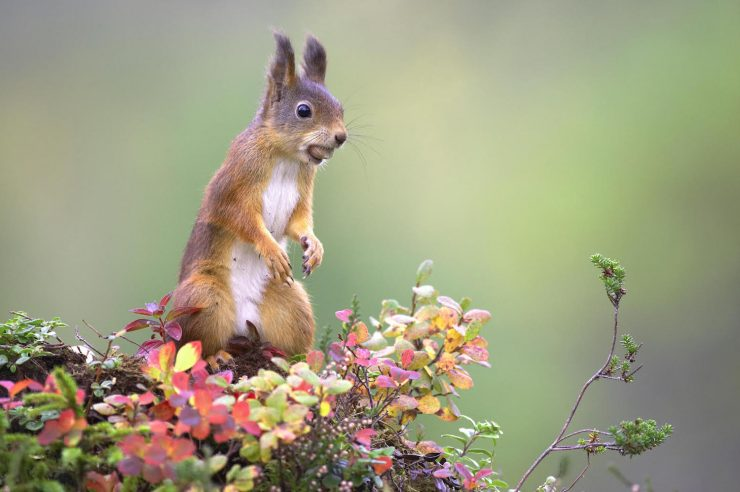 Image for People-powered campaign launched to return red squirrels to the Scottish Highlands