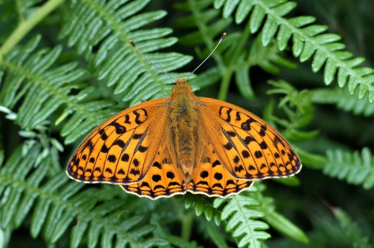 Image for Dry weather proves a boost for UK's most endangered butterfly