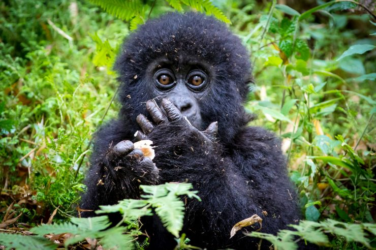 Image for Mountain gorilla numbers rising despite big challenges