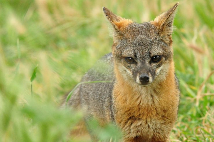 Image for Tiny endangered fox makes rapid recovery