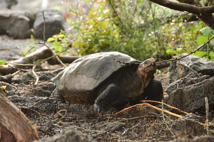 Image for Giant tortoise believed extinct for 100 years spotted in Galápagos