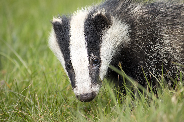 Britain's carnivorous mammals bounce back