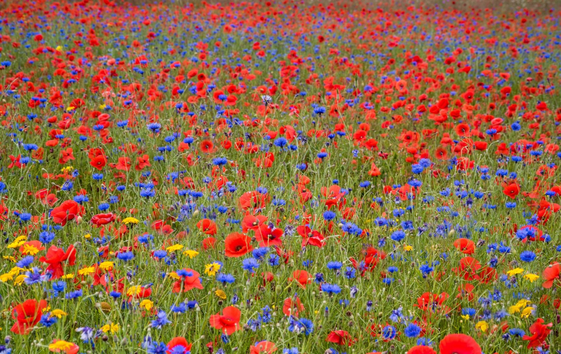 Image for Maps reveal the 'people's choice' wildflowers: one for each UK county