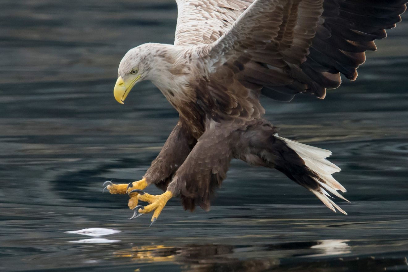 Image for Six white-tailed eagles reintroduced as part of five-year project