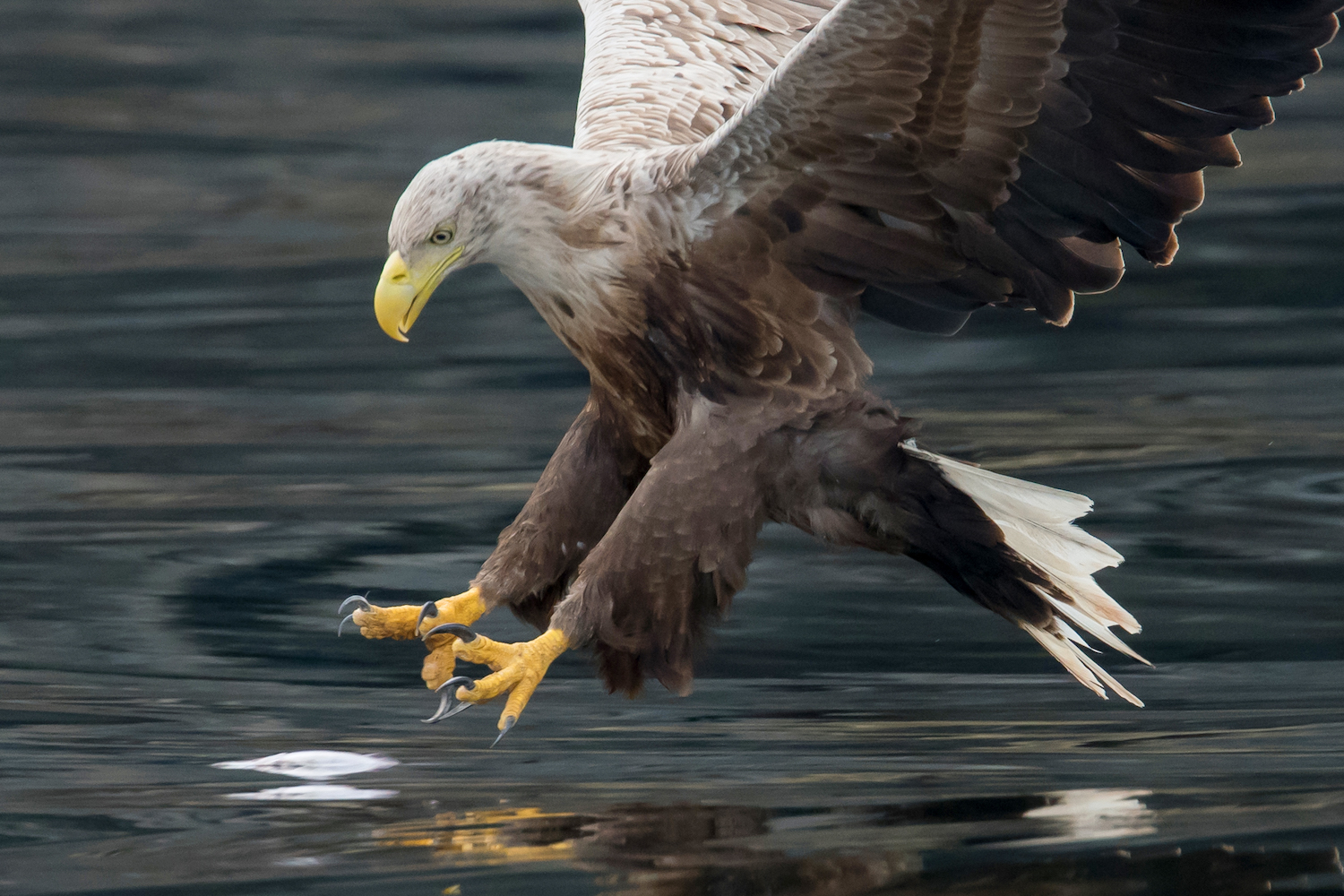 Six white-tailed eagles reintroduced as part of five-year project