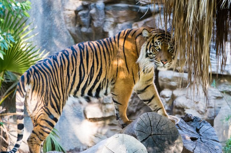 Image for India's wild tigers are up by more than 30%