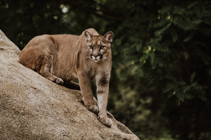 Image for Plan to save LA's mountain lions – with a big bridge