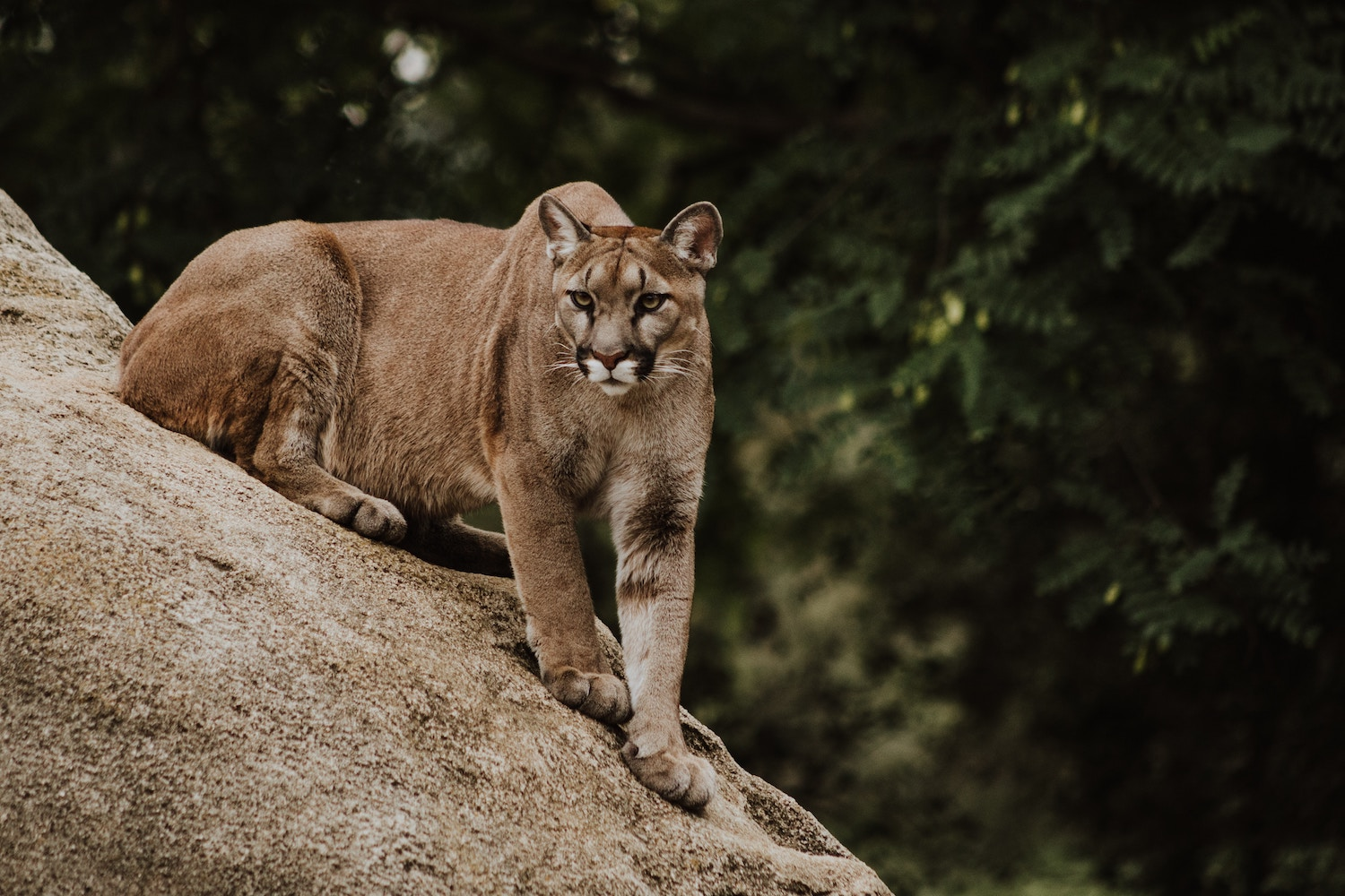 Plan to save LA's mountain lions – with a big bridge