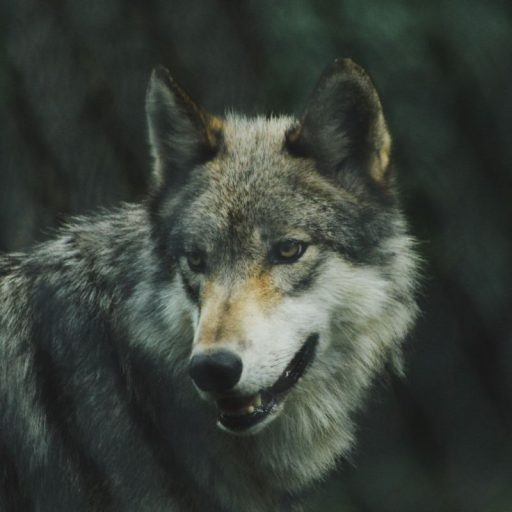 A grey wolf