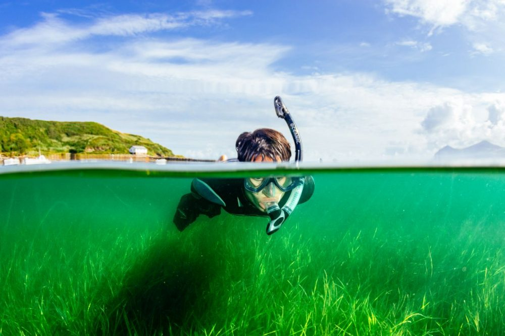 A snorkeller collects seagrass seeds as part of a project to restore sea meadows