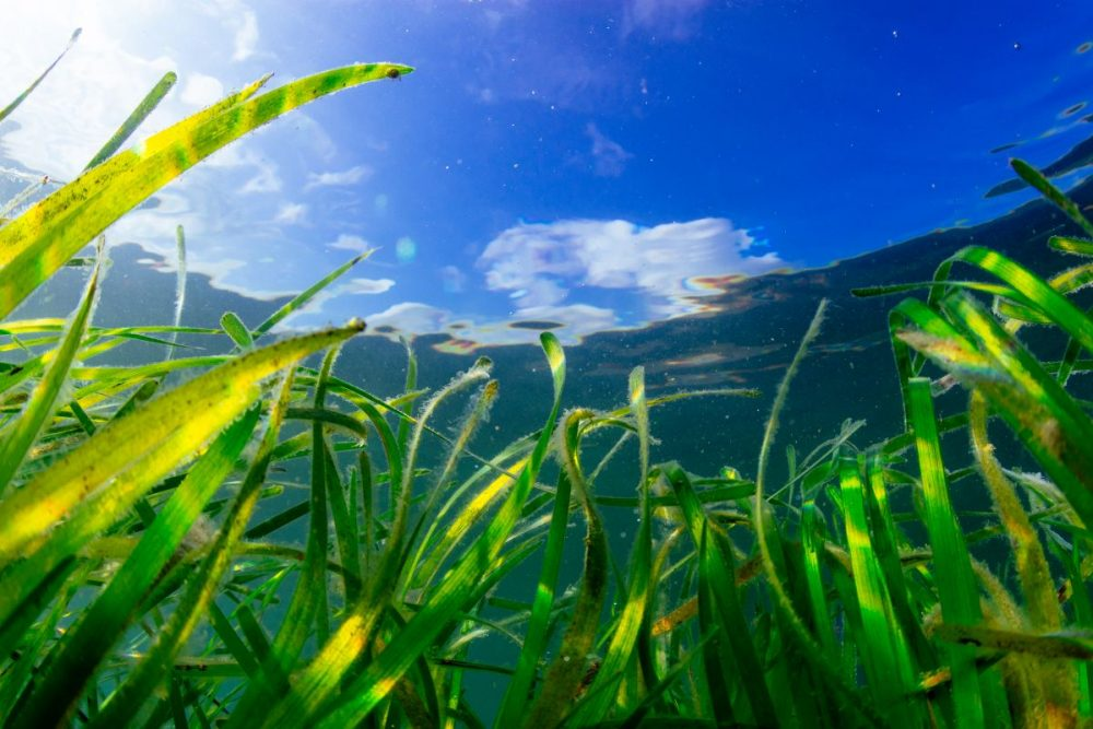 Seagrass is a vital carbon sink