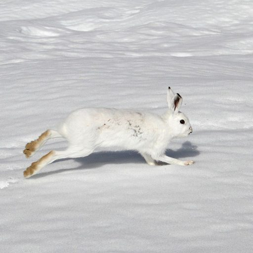 Scotland banned the mass culling of hares this week