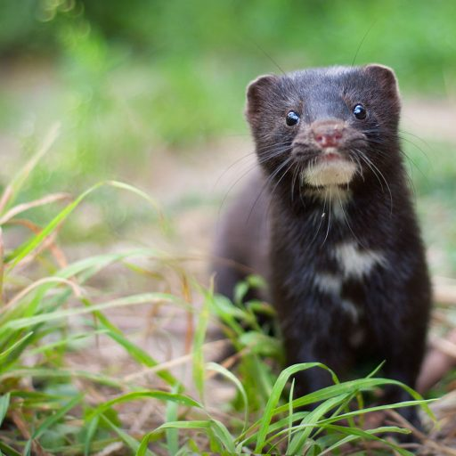 The Dutch parliament voted to ban mink farming this week