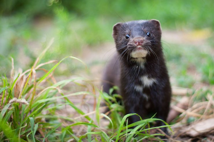 Image for Dutch parliament votes to end mink farming following Covid-19 outbreak