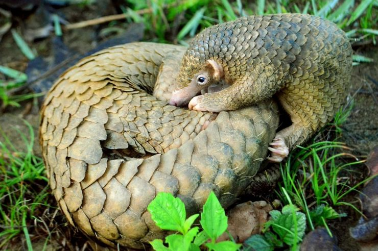 Image for Pangolins protected in China as scales removed from medicine list