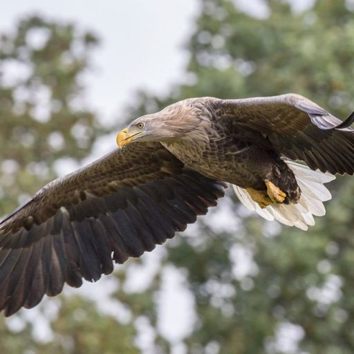 White-tailed eagles are another conservation success story