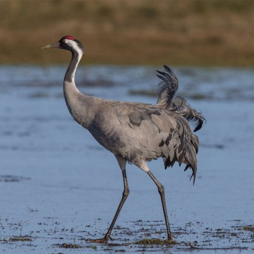 Cranes have returned to the UK after being hunted to extinction