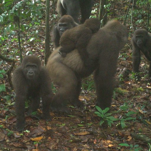 Rare gorillas have been caught on camera with their young for the first time