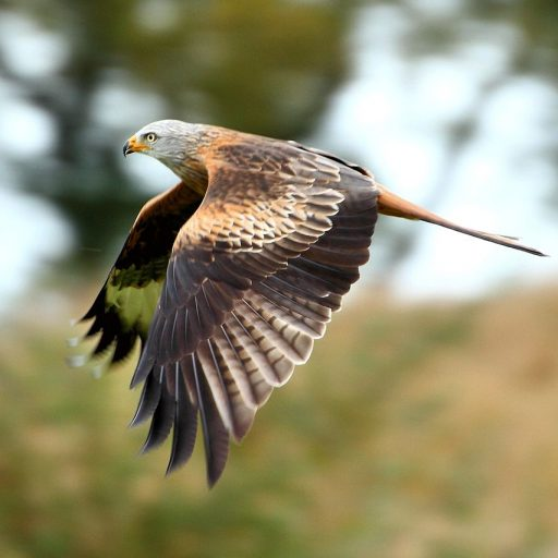 Red kites are one of Englands most celebrated conservation success stories