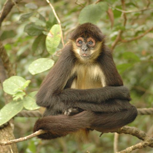 A citizen science project has launched to monitor drone footage of spider monkeys