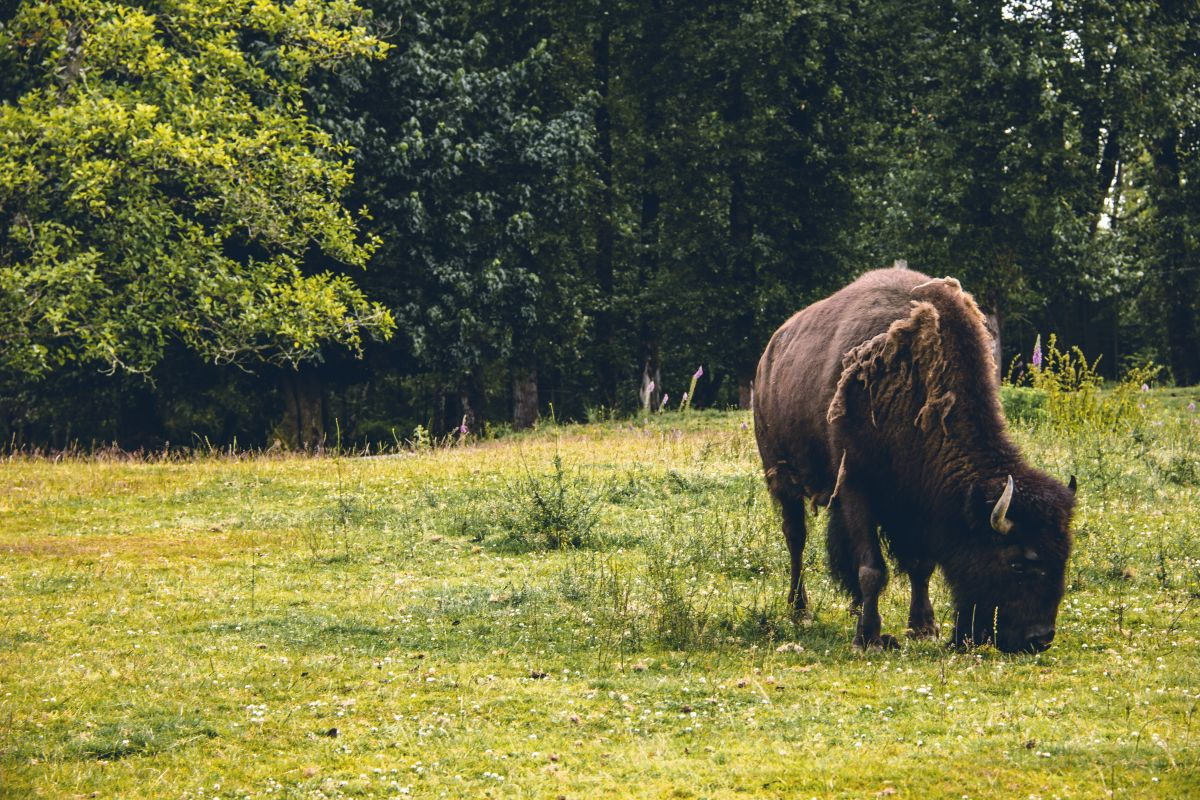 O que deu certo: bison definido para o retorno ao Reino Unido, além de outras boas notícias 6