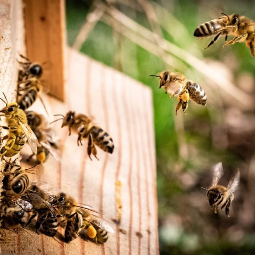 A citizen science project has launched to help monitor bees