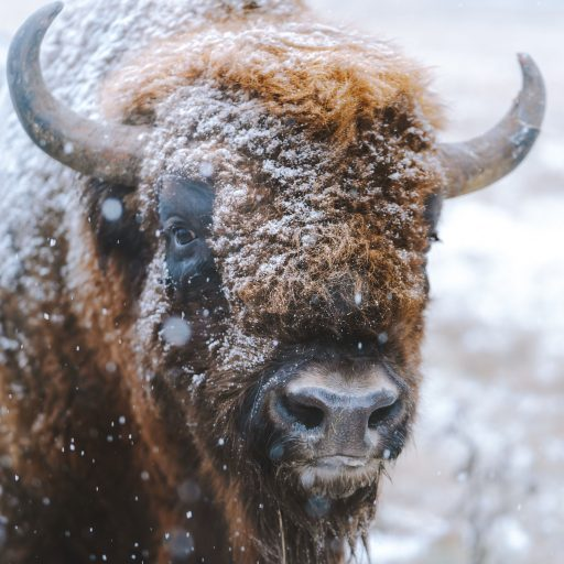 Good news: Bison are to be reintroduced to England