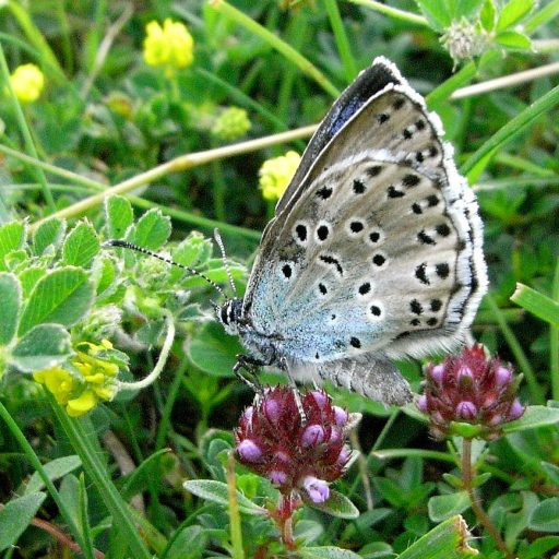 Positive news: a rare butterfly recolonised the Cotswolds