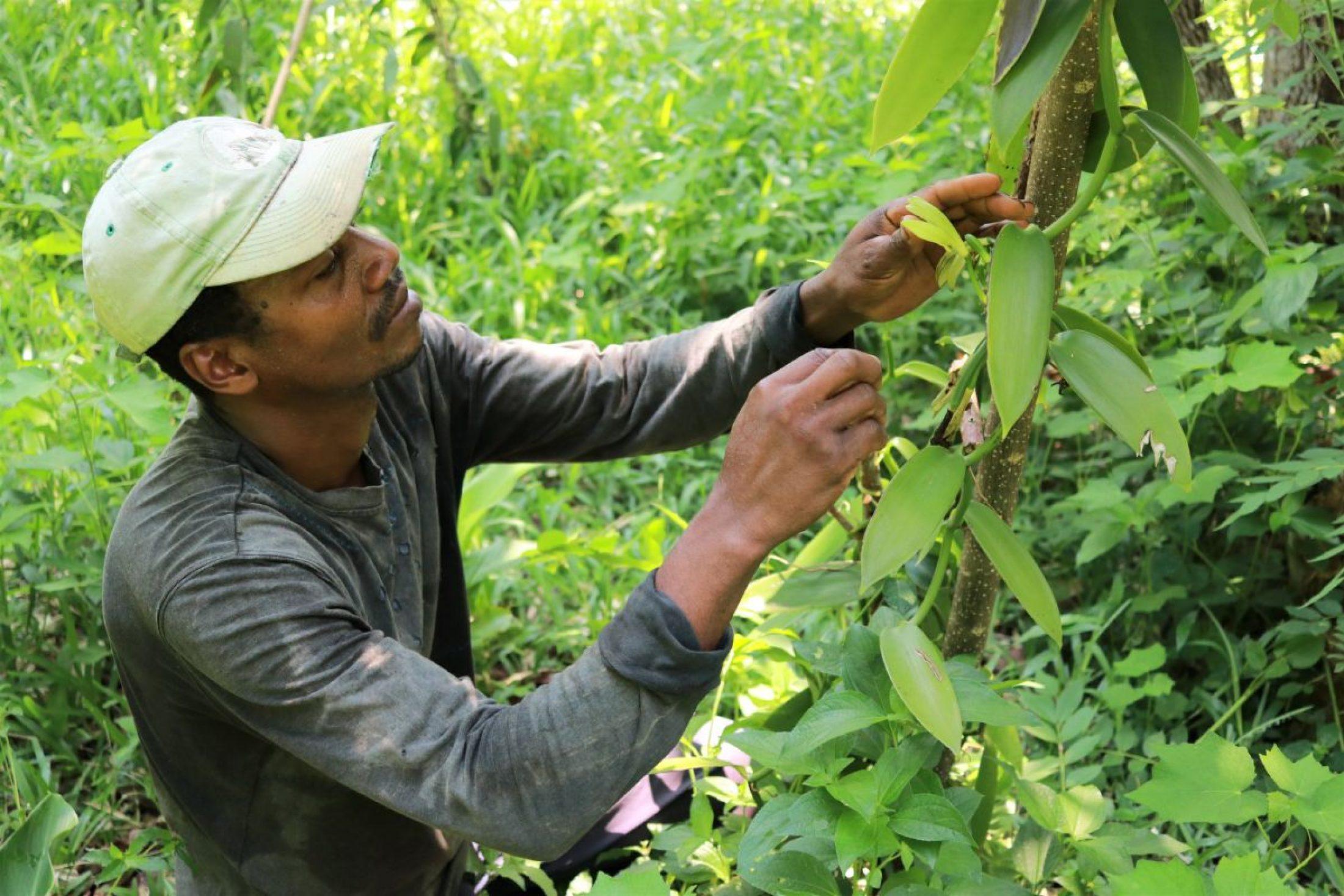 Vanilla farmer Emmanuel Rajao pollinates the flowers on his vines by hand