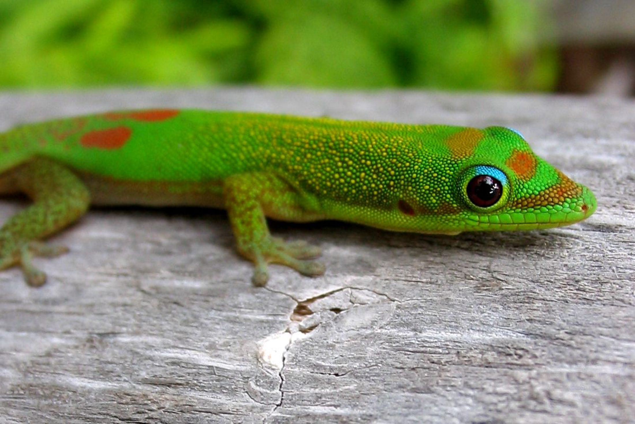 Rewilding Madagascar: The gold dust day gecko is revered because it eats the so-called