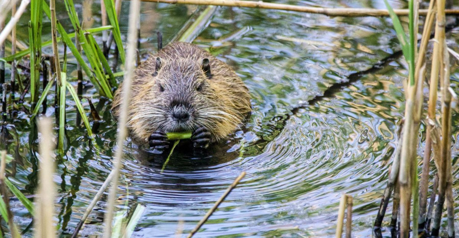 Image for Beavers given 'right to stay' in Devon, paving way for further reintroductions