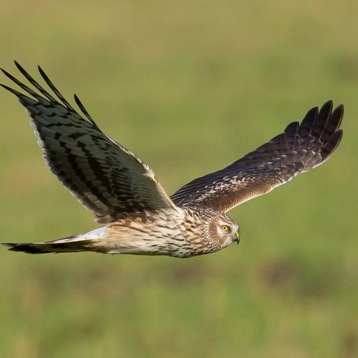 Positive News: England reported a baby boom for hen harriers