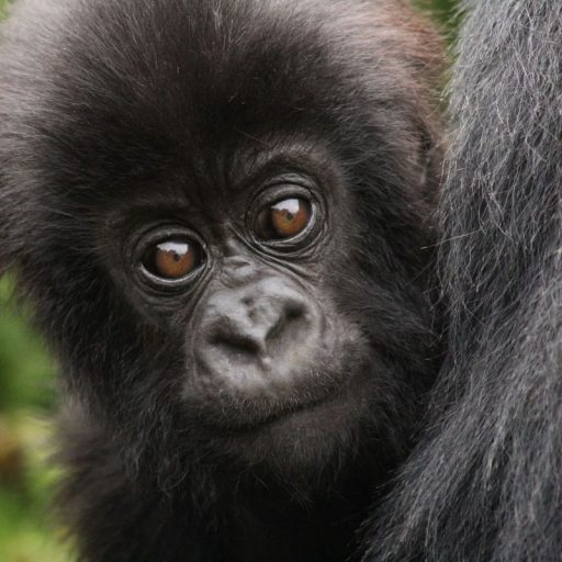 Positive News: Uganda reported a gorilla baby boom