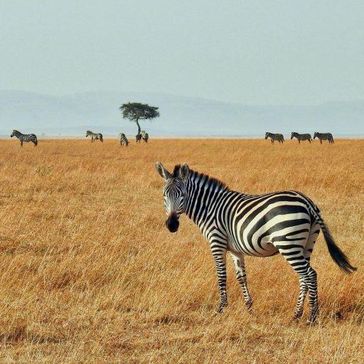 Lockdown learning: watch a livestreamed safari