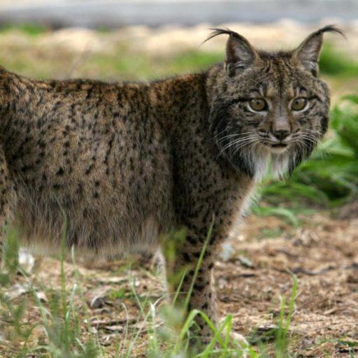 Positive news: Lynx clawing back territory in Iberian Peninsula