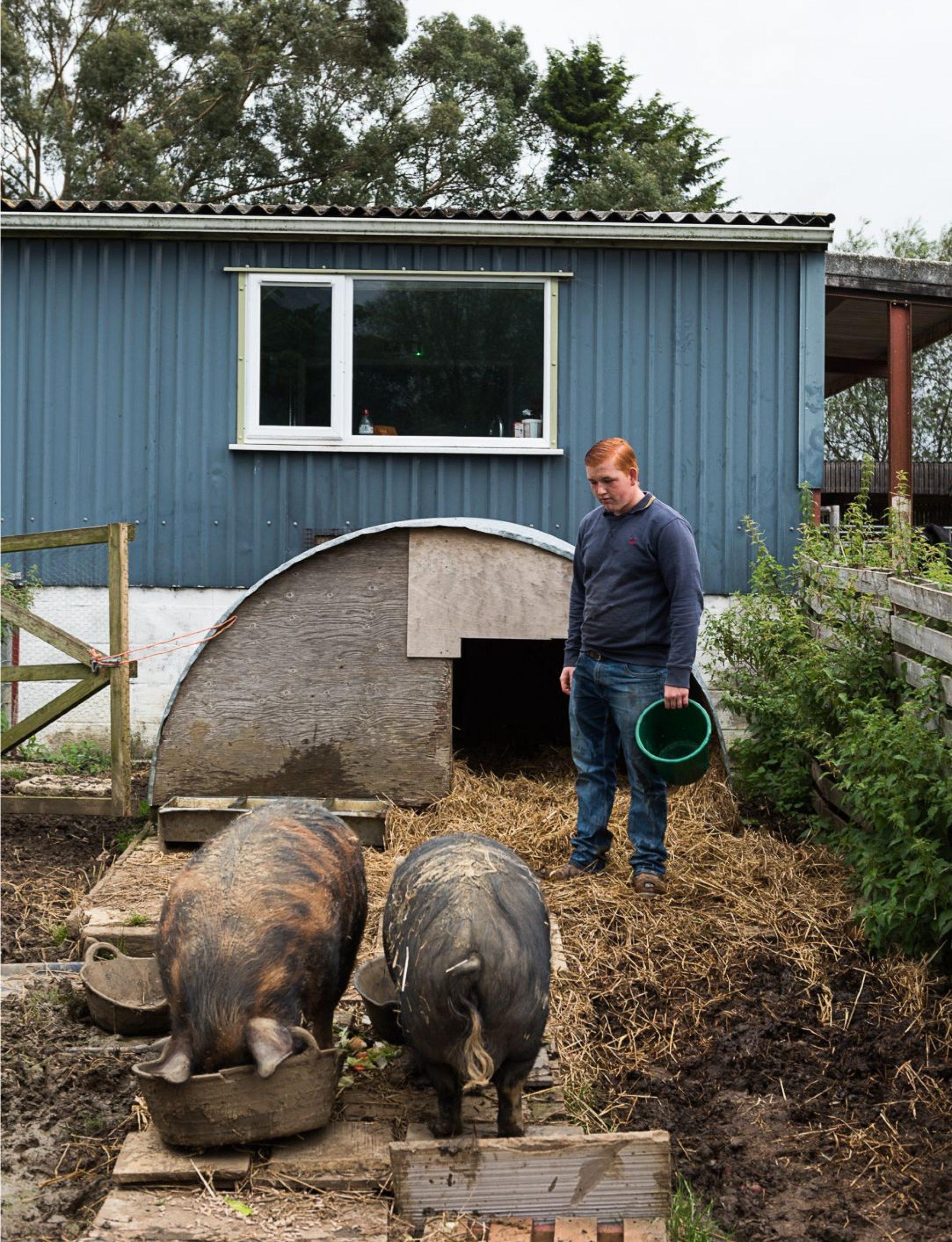 Feeding the pigs at Rylands Farm, Dorset