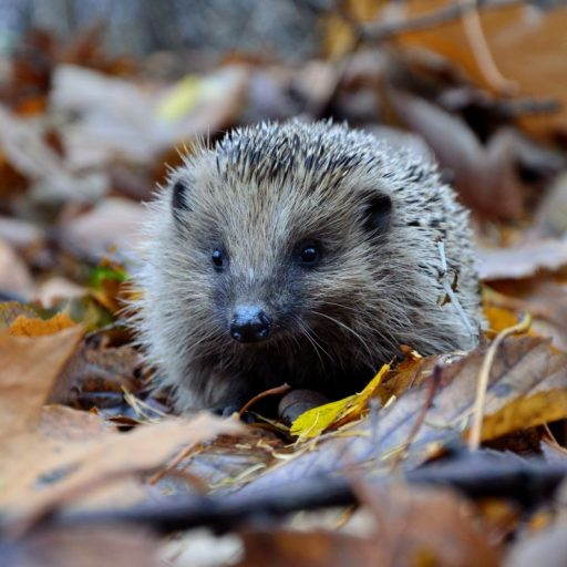 Wildlife-friendly construction innovations: hedgehog highways
