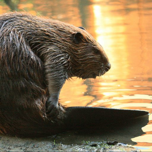 Beavers built a dam in Somerset, England for the first time in 400 years