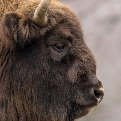 Positive news: European bison no longer vulnerable